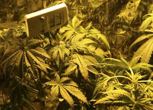 Ferrara, coltivavano marijuana. Assolti due giovani arrestati